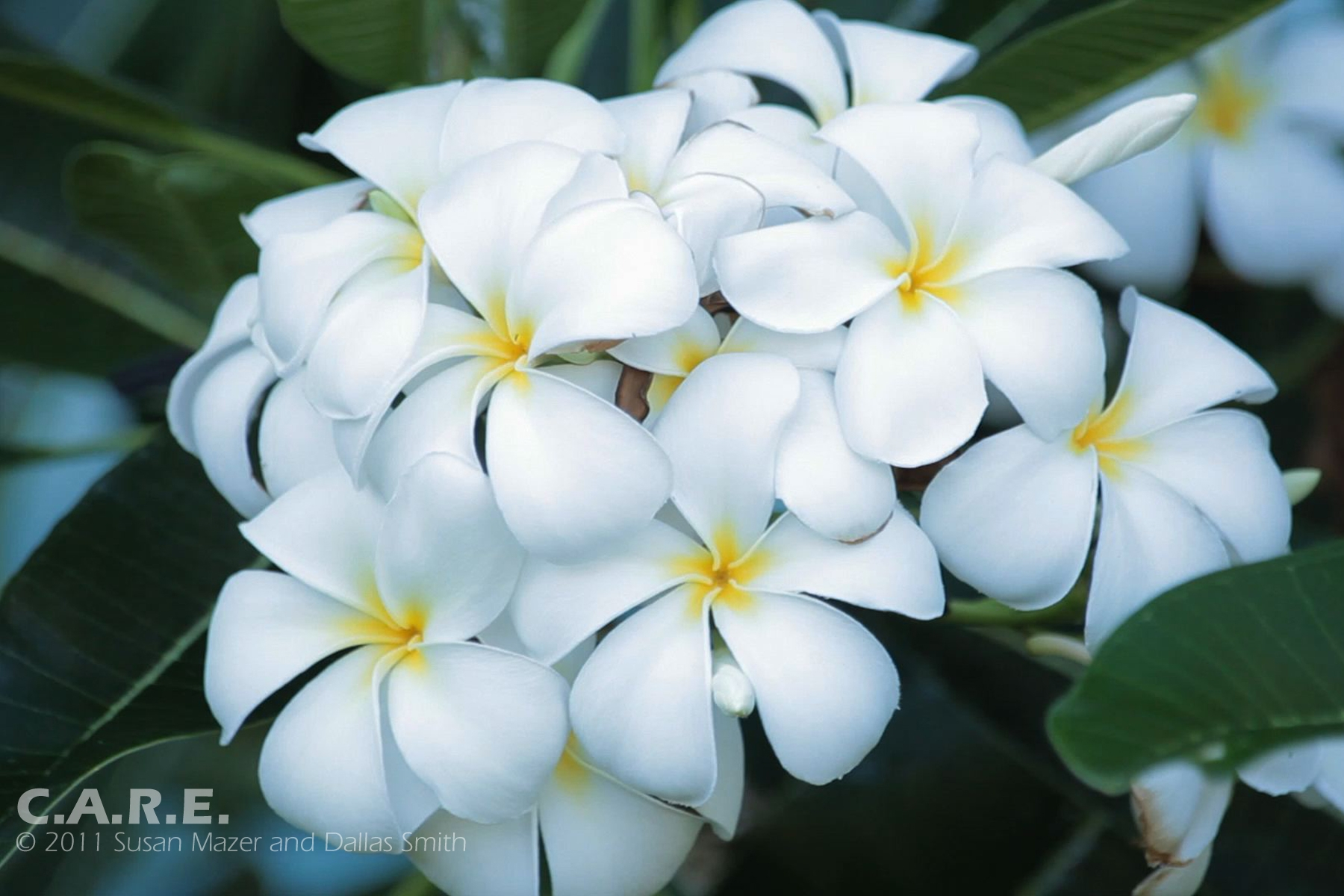 Pin White Yellow Flowers Flower Hd Photography Photos