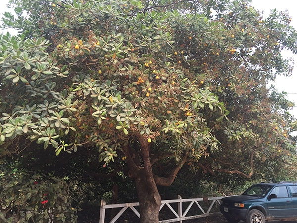 belize_cashew_tree