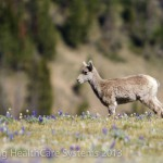 A young big horn stands in a field of wildflowers on Mt. Washburn.