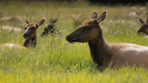 Tinidad, CA - Elk