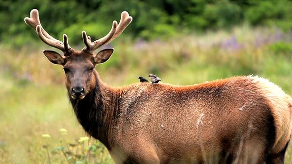 Trinidad, CA - Elk and Birds