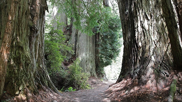 Trinidad, CA - Redwoods