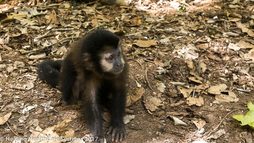 Iguazu monkey Brazil